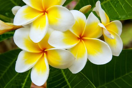 tahitian: White and yellow plumeria flowers on a tree