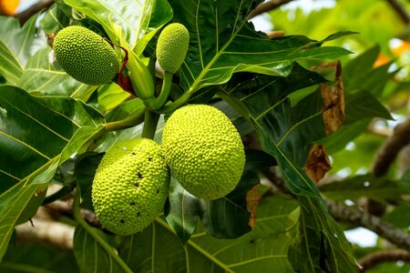 eventually: Breadfruit (Artocarpus altilis) tree with fruits. Breadfruit originated in the South Pacific and was eventually spread to the rest of Oceania.