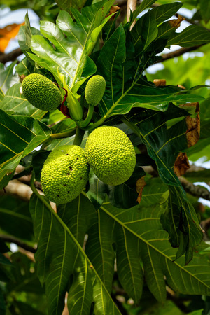 Breadfruit (Artocarpus altilis) tree with fruits. Breadfruit originated in the South Pacific and was eventually spread to the rest of Oceania.
