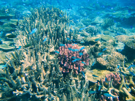 hard coral: Coral reef in Somosomo Strait off the coast of Taveuni Island, Fiji. Somosomo Strait is world famous for its corals and is a popular diving location.