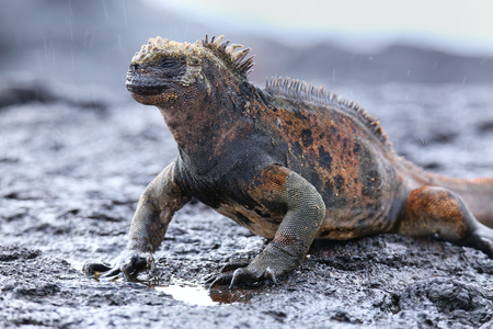 Marine iguana on Santiago Island in Galapagos National Park, Ecuador. Marine iguana is found only on the Galapagos Islands Stock Photo