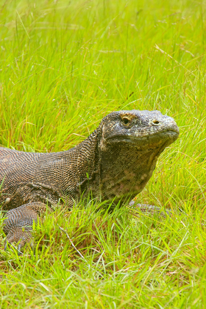 Portrait of Komodo dragon lying in grass on Rinca Island in Komodo National Park, Nusa Tenggara, Indonesia. It is the largest living species of lizard Stock Photo
