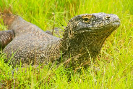 Komodo dragon (Varanus komodoensis) lying in grass on Rinca Island in Komodo National Park, Nusa Tenggara, Indonesia. It is the largest living species of lizard Stock Photo
