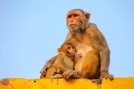 Rhesus macaque with a baby sitting on a wall in Taj Ganj neighborhood of Agra, Uttar Pradesh, India. Agra is one of the most populous cities in Uttar Pradesh