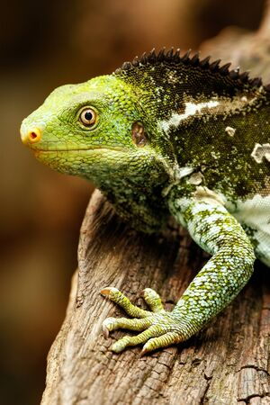Portrait of Fijian crested iguana (Brachylophus vitiensis) on Viti Levu Island, Fiji. It is critically endangered species of iguana found on some Fijian islands.