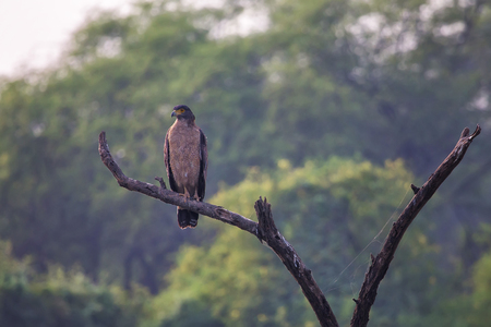 Crested serpent eagle (Spilornis cheela)sitting on a tree in Keoladeo Ghana National Park, Bharatpur, India.