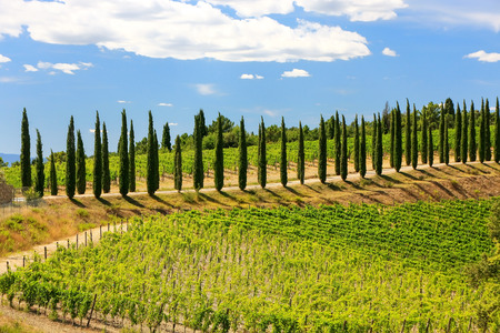 Vineyard with row of cypress trees in Val dOrcia, Tuscany, Italy.