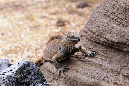 wildlife preserve: Marine iguana on Santiago Island in Galapagos National Park, Ecuador.