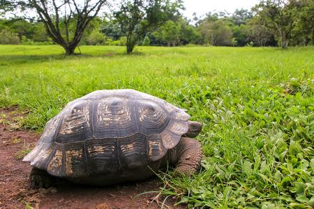Galapagos giant tortoise (Geochelone elephantopus) on Santa Cruz Island in Galapagos National Park, Ecuador.