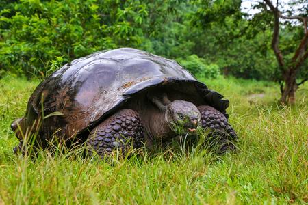 wildlife preserve: Galapagos giant tortoise (Geochelone elephantopus) on Santa Cruz Island in Galapagos National Park, Ecuador.