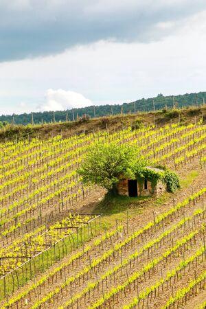 Vineyard with a small farmhouse in Montalcino, Val dOrcia, Tuscany, Italy. Stock Photo