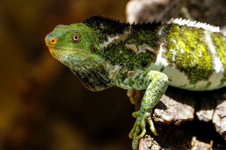 Fijian crested iguana (Brachylophus vitiensis) on Viti Levu Island, Fiji. It is critically endangered species of iguana found on some Fijian islands.