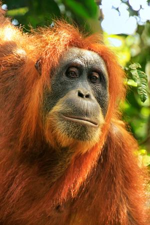 Portrait of a female Sumatran orangutan (Pongo abelii) in Gunung Leuser National Park, Sumatra, Indonesia. Sumatran orangutan is endemic to the north of Sumatra and is critically endangered.