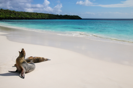 Galapagos sea lions on the beach at Gardner Bay, Espanola Island, Galapagos National park, Ecuador. These sea lions exclusively breed in the Galapagos. 스톡 콘텐츠