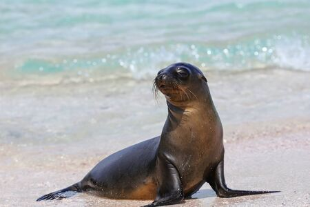 Galapagos sea lion at the beach on Espanola Island, Galapagos National park, Ecuador. These sea lions exclusively breed in the Galapagos.
