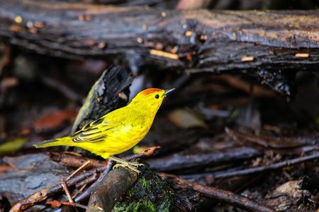 남성 노란색 금은 (Dendroica petechia) 갈라파고스 국립 공원, 에콰도르에서 산타 크루즈 섬에 바닥에 앉아.