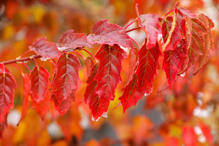 acer: Close-up of red amur maple tree leaves in a fall