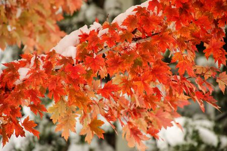 Close-up sugar maple tree branch with fresh snow in a fall