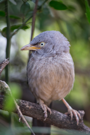 Jungle babbler (Turdoides striata) sitting on a tree in Keoladeo Ghana National Park,  Bharatpur, India. The park was declared a protected sanctuary in 1971 and it is also a World Heritage Site.