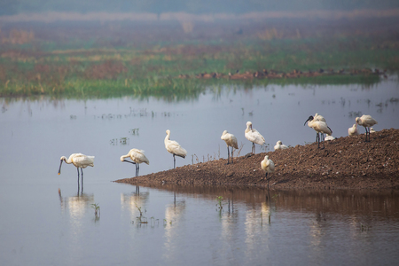 Eurasian spoonbills standing in a lake in Keoladeo Ghana National Park, Bharatpur, India. The park was declared a protected sanctuary in 1971