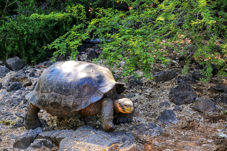 wildlife preserve: Galapagos giant tortoise at Charles Darwin Research Station on Santa Cruz Island, Galapagos National Park, Ecuador. It is the largest living species of tortoise. Stock Photo
