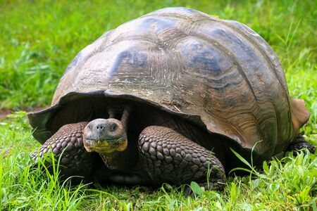 wildlife preserve: Galapagos giant tortoise (Geochelone elephantopus) on Santa Cruz Island in Galapagos National Park, Ecuador. It is the largest living species of tortoise.