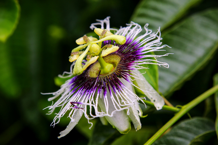 passion fruit flower: Blooming passionflower on Santa Cruz Island in Galapagos National Park, Ecuador. Stock Photo