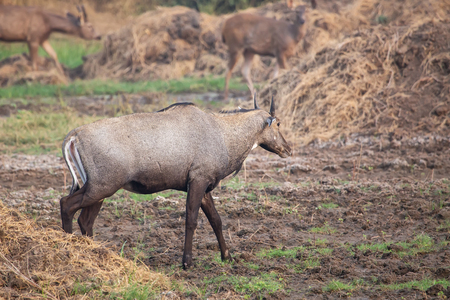 Male Nilgai (Boselaphus tragocamelus) walking in Keoladeo Ghana National Park, Bharatpur, India. Nilgai is the largest Asian antelope and is endemic to the Indian subcontinent.