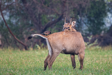 Male Nilgai with Brahminy mynas sitting on him in Keoladeo National Park, Bharatpur, India. Nilgai is the largest Asian antelope and is endemic to the Indian subcontinent. Stock Photo