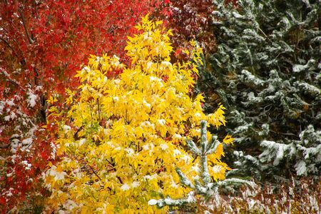 acer: Green ash tree with sugar maple and pine tree in the background with fall color and snow Stock Photo