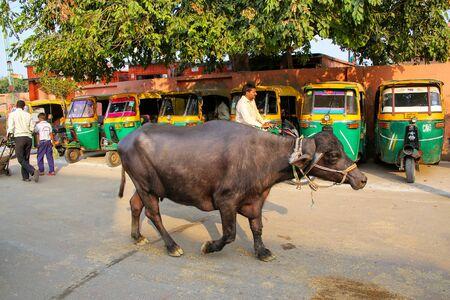 Water buffalo walking in the street in Taj Ganj neighborhood of Agra, Uttar Pradesh, India. Agra is one of the most populous cities in Uttar Pradesh
