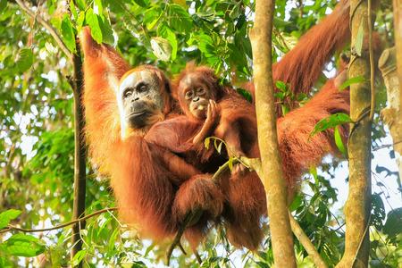 Female Sumatran orangutan with a baby hanging in the trees, Gunung Leuser National Park, Sumatra, Indonesia. Sumatran orangutan is endemic to the north of Sumatra and is critically endangered.