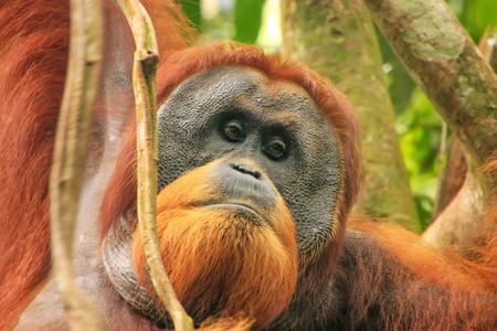 Portrait of male Sumatran orangutan (Pongo abelii) in Gunung Leuser National Park, Sumatra, Indonesia. Sumatran orangutan is endemic to the north of Sumatra and is critically endangered. Stock Photo