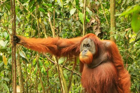 Male Sumatran orangutan (Pongo abelii) standing on the ground in Gunung Leuser National Park, Sumatra, Indonesia. Sumatran orangutan is endemic to the north of Sumatra and is critically endangered. Banque d'images