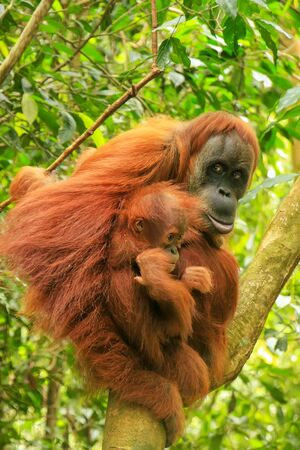 Female Sumatran orangutan with a baby sitting on a tree in Gunung Leuser National Park, Sumatra, Indonesia. Sumatran orangutan is endemic to the north of Sumatra and is critically endangered. Banque d'images