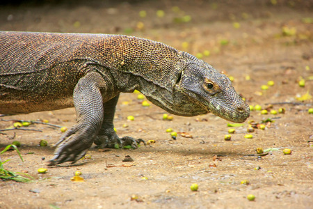 Komodo dragon walking on Rinca Island in Komodo National Park, Nusa Tenggara, Indonesia. It is the largest living species of lizard