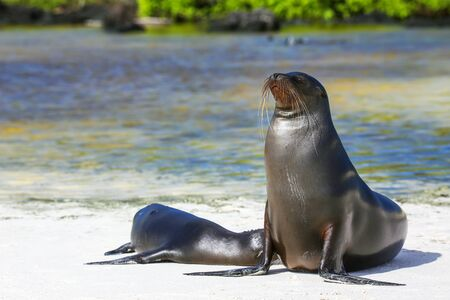 Galapagos sea lions on the beach at Gardner Bay, Espanola Island, Galapagos National park, Ecuador. These sea lions exclusively breed in the Galapagos. Stock Photo