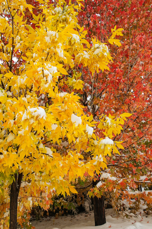 Green ash tree with sugar maple tree in the background with fall color and snow