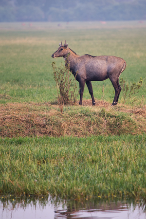 Male Nilgai (Boselaphus tragocamelus) standing in Keoladeo Ghana National Park, Bharatpur, India. Nilgai is the largest Asian antelope and is endemic to the Indian subcontinent.
