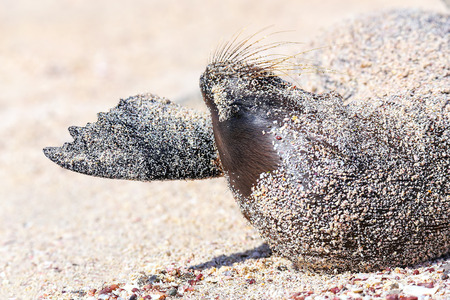 Close view of Galapagos sea lion lying in sand on Espanola Island, Galapagos National park, Ecuador. These sea lions exclusively breed in the Galapagos.
