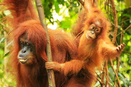 Female Sumatran orangutan with a baby sitting on a tree in Gunung Leuser National Park, Sumatra, Indonesia.