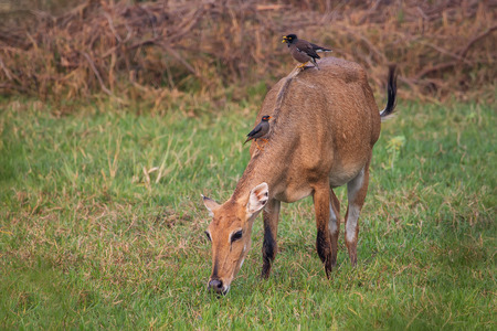Female Nilgai with Brahminy mynas sitting on her in Keoladeo National Park, Bharatpur, India. Nilgai is the largest Asian antelope and is endemic to the Indian subcontinent.