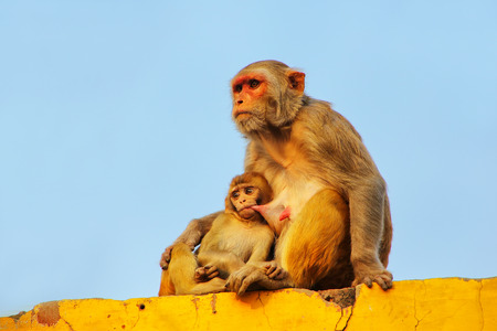 Rhesus macaque with a baby sitting on a wall in Taj Ganj neighborhood of Agra, Uttar Pradesh, India. Agra is one of the most populous cities in Uttar Pradesh