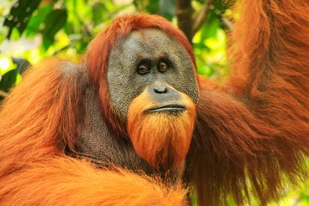 Portrait of male Sumatran orangutan (Pongo abelii) in Gunung Leuser National Park, Sumatra, Indonesia. Sumatran orangutan is endemic to the north of Sumatra and is critically endangered. Éditoriale