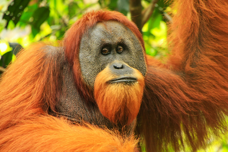 Portrait of male Sumatran orangutan (Pongo abelii) in Gunung Leuser National Park, Sumatra, Indonesia. Sumatran orangutan is endemic to the north of Sumatra and is critically endangered. Editorial