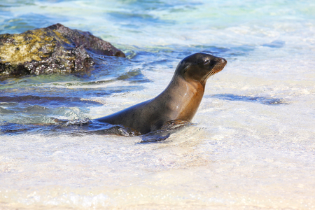 Galapagos sea lion playing in water on Espanola Island, Galapagos National park, Ecuador. These sea lions exclusively breed in the Galapagos.