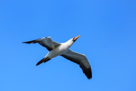 Nazca booby (Sula granti) in flight on Espanola Island, Galapagos National park, Ecuador.