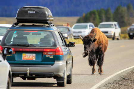 Bison blocking  traffic in Yellowstone National Park, Wyoming, USA Editorial