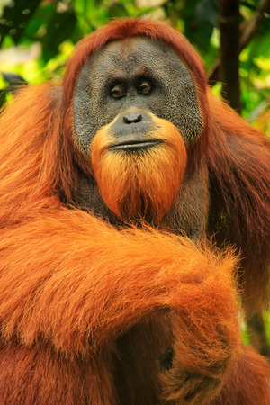 Portrait of male Sumatran orangutan (Pongo abelii) in Gunung Leuser National Park, Sumatra, Indonesia. Sumatran orangutan is endemic to the north of Sumatra and is critically endangered. Banque d'images