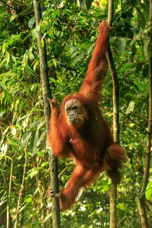 Female Sumatran orangutan (Pongo abelii) hanging in the trees, Gunung Leuser National Park, Sumatra, Indonesia. Sumatran orangutan is endemic to the north of Sumatra and is critically endangered.